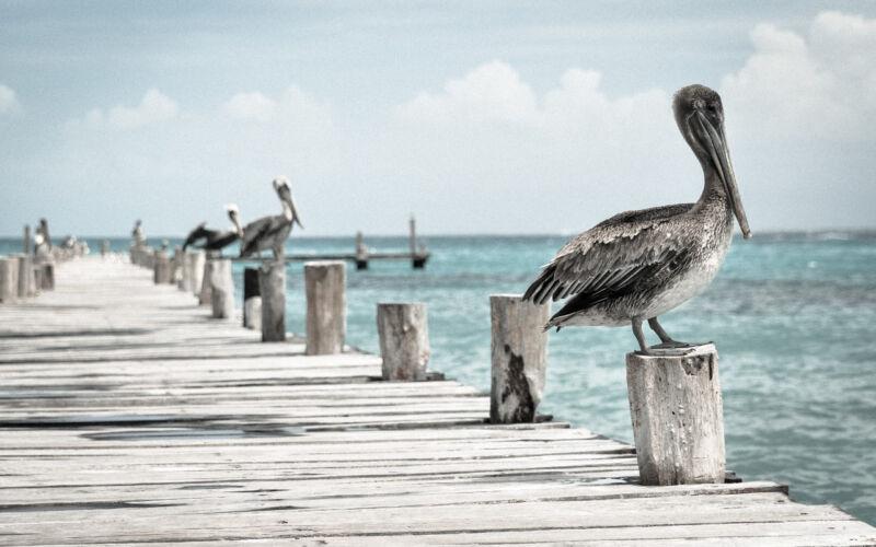 pelican_1
